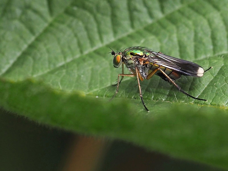 Web 202006   Long legged Fly   Chailey Common   O1014249
