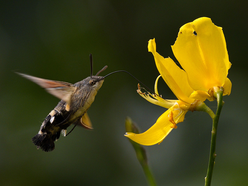 Web 202009   Hummingbird Hawk Moth   Garden   O1018496