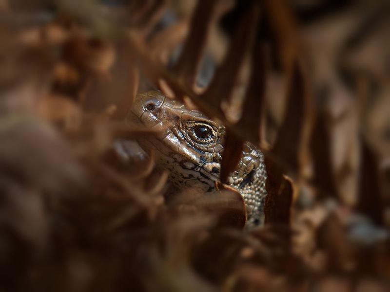 Web 202010   Common Lizard   Old Lodge   O1016757