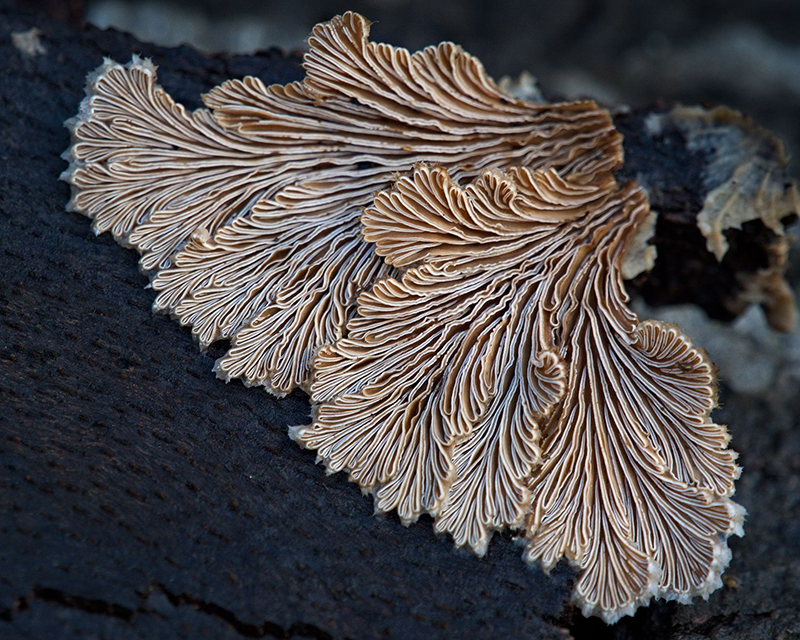 Web 202012   Split gill fungus   Leonardslee gardens   O1013935