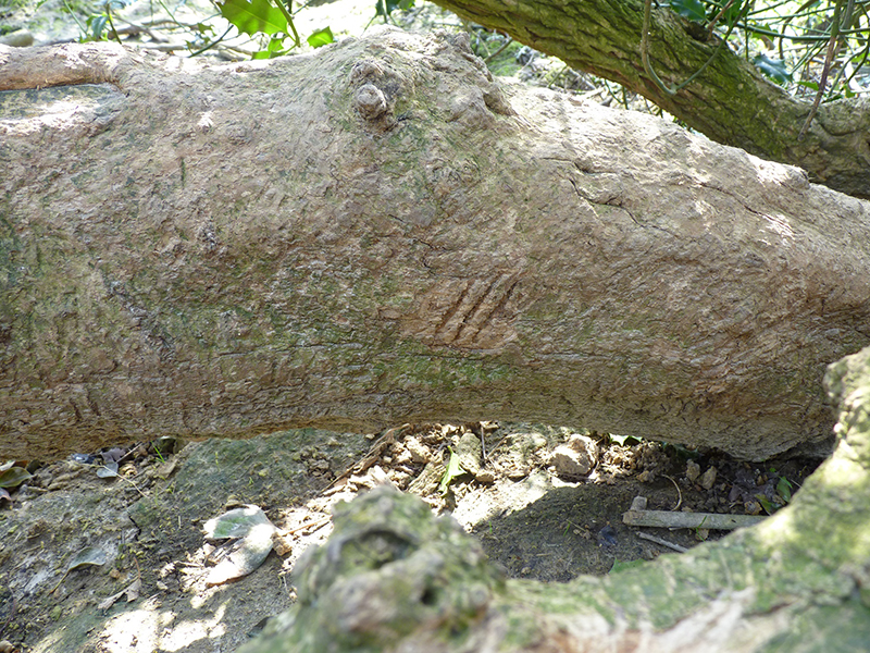 Web badger claw marks