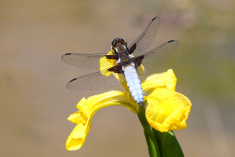 Web Broad bodied Chaser SW