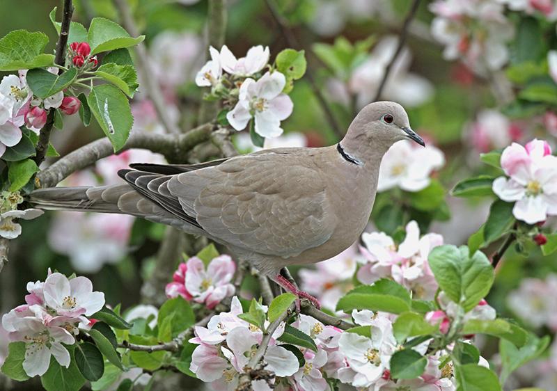 Collared Dove (Steptopelia decaocta)