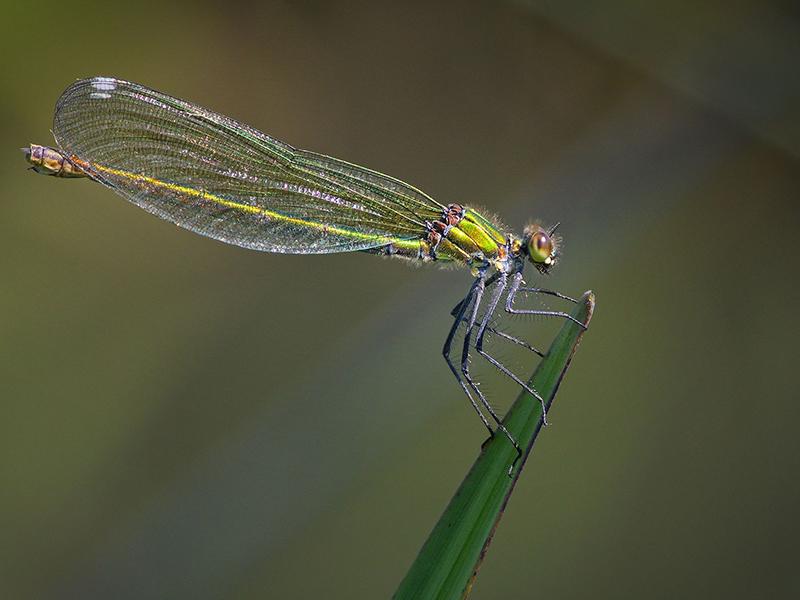 Web Female Banded Demoiselle