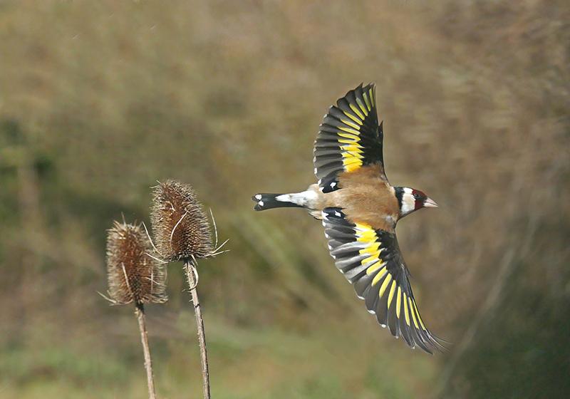 Web Goldfinch flight SW