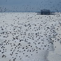 12. West Pier Murmuration - Jess Squires