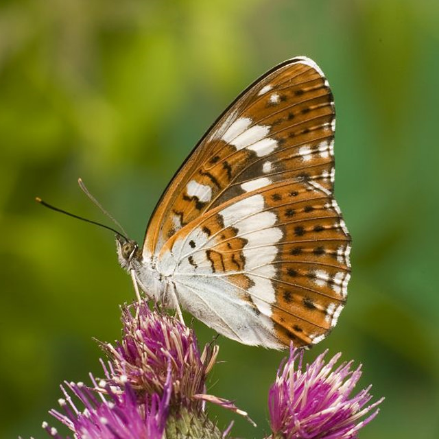 white admiral / Derek Middleton