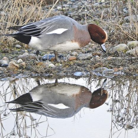 Wigeon winter©Barry YatesSussex Wildlife Trust