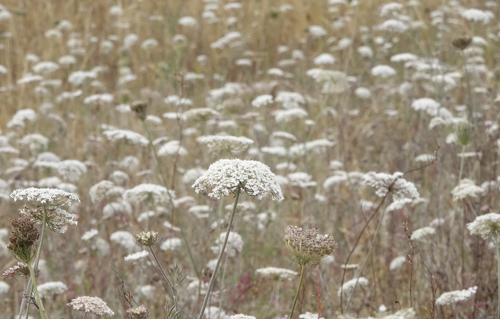 Wild carrot at rye harbour 2