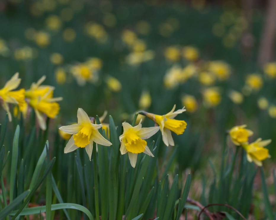 Wild daffodils West Dean Woods©Nigel SymingtonSussex Wildlife Trust
