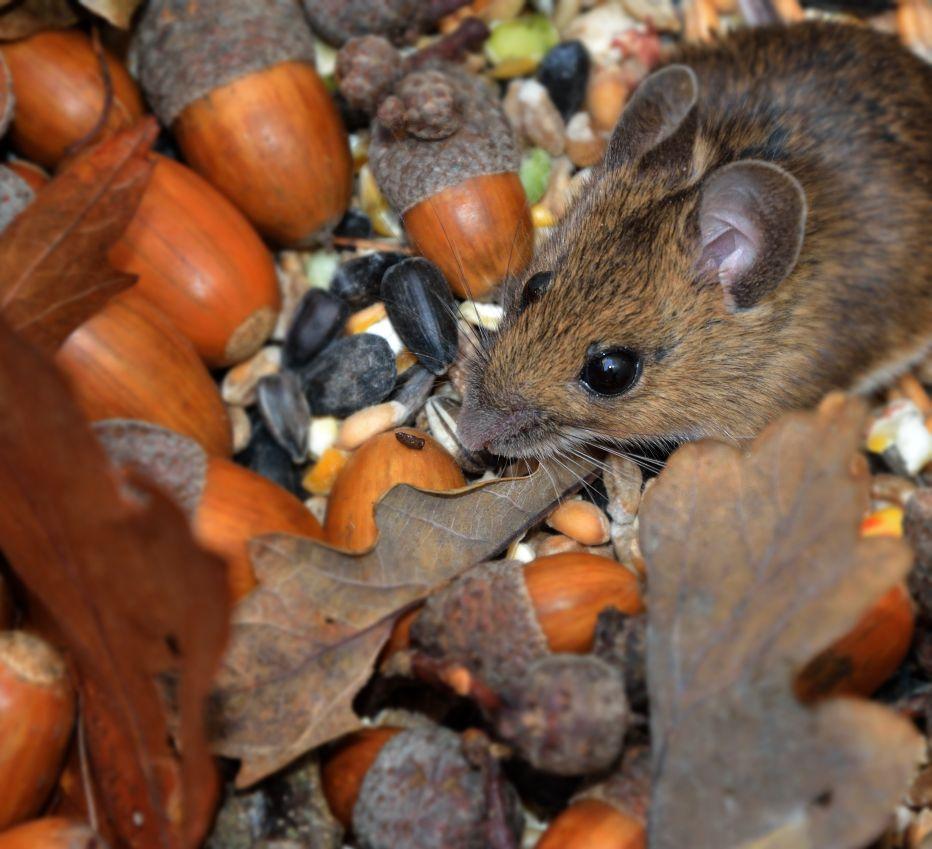 Wood Mouse © Alan Price