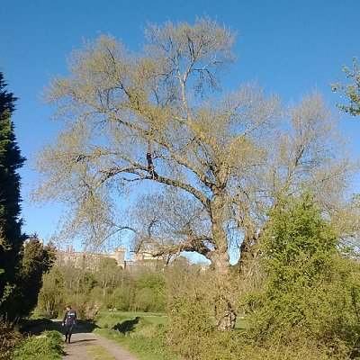 black poplars in Arundel
