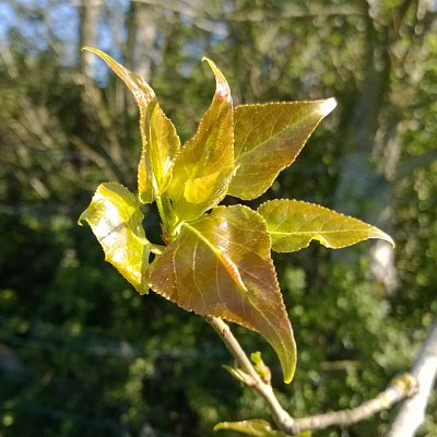 young black poplar leaves