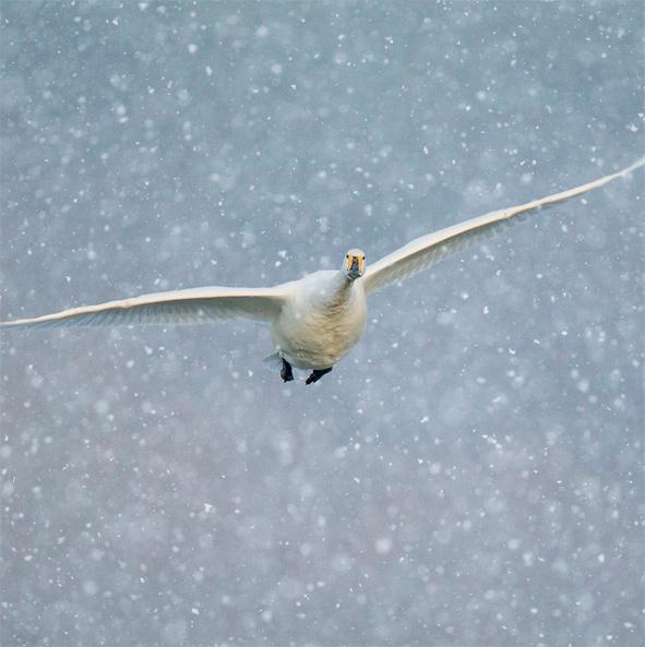 Whooper Swan Christmas Card