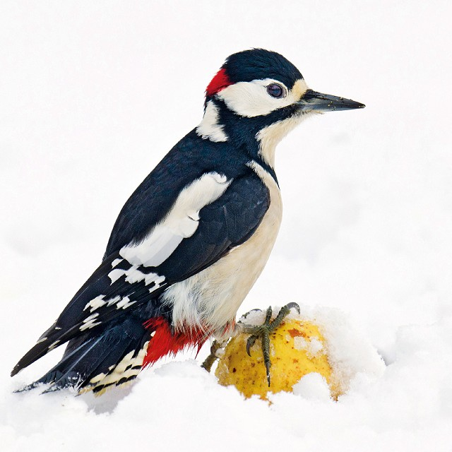 Great Spotted Woodpecker Christmas Card