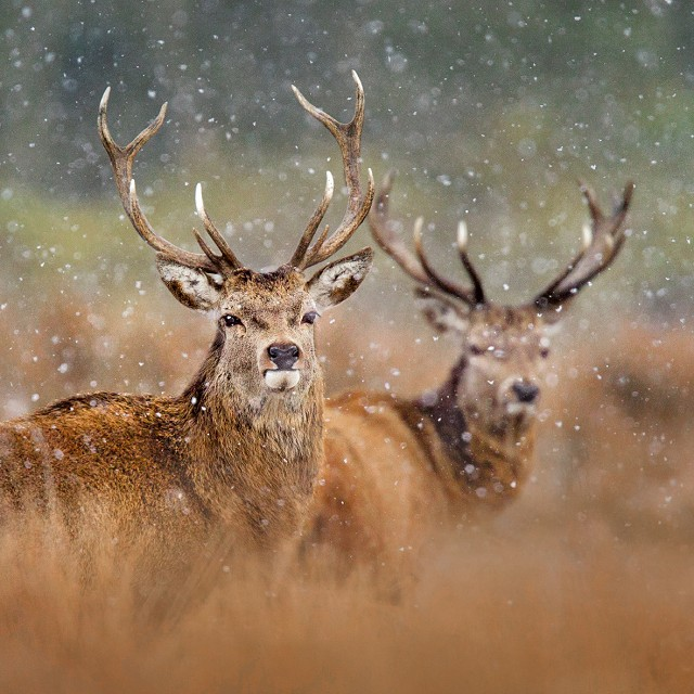 Red Deer Christmas Card