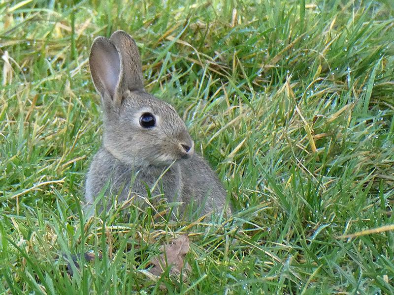 Young Rabbit Bedelands Nature Reserve Burgess Hill